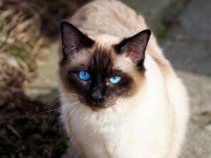 Taurina nel gatto (Foto Pixabay)