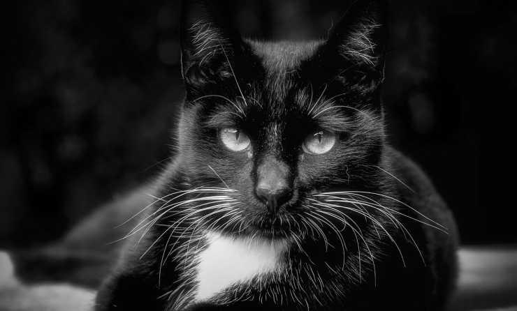 Il gatto in primo piano (Foto Pixabay)