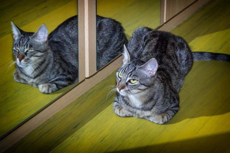 Il gatto graffia lo specchio