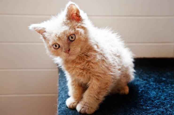 Shock anafilattico nel gatto