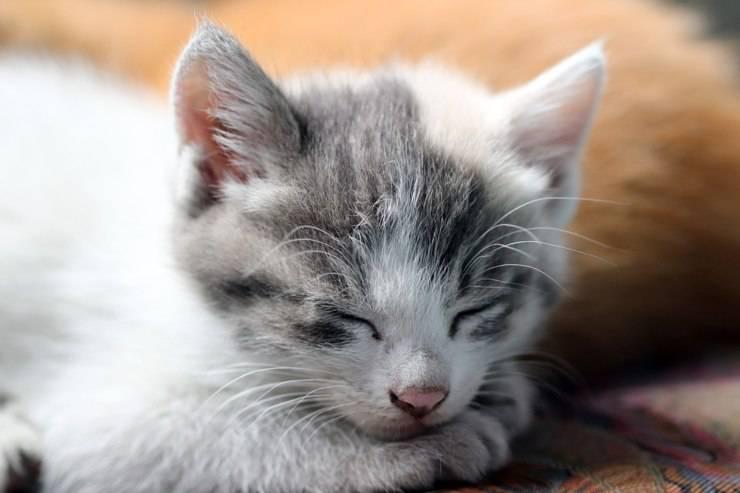 gattino cucciolo gatto