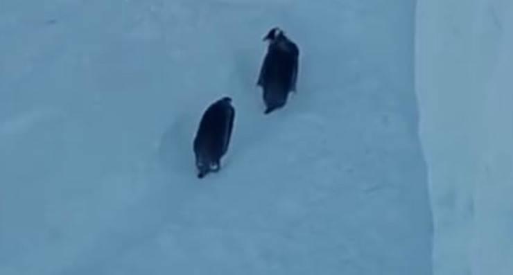 I pinguini nel percorso di salvataggio (Foto Pixabay)