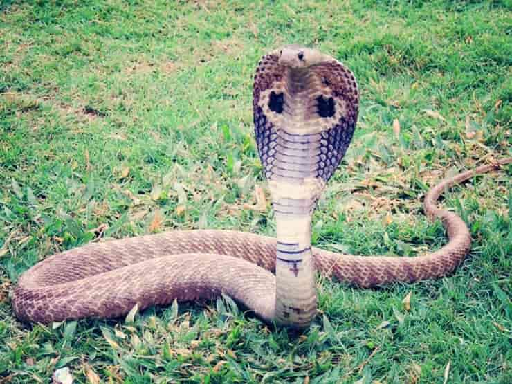 Il cobra nel test della personalità