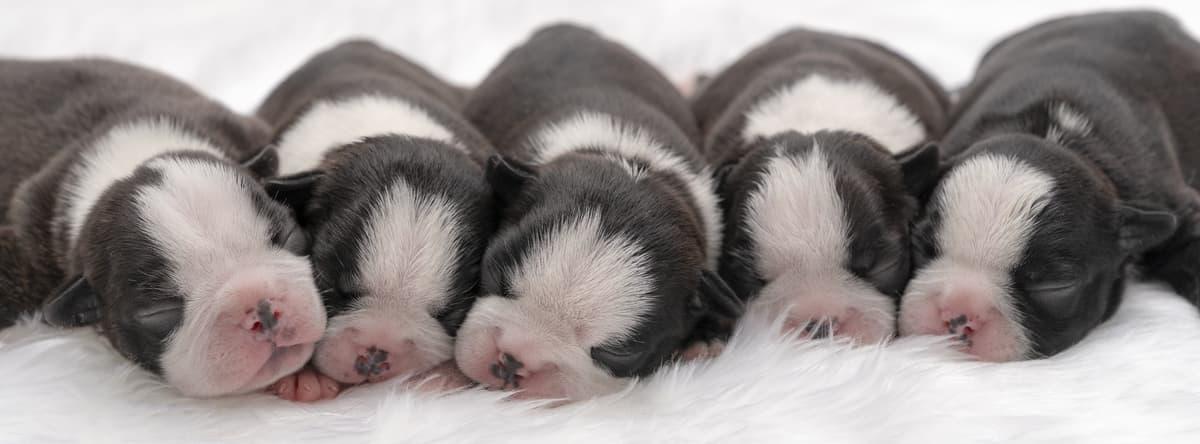 Perché la cagna rifiuta i cuccioli (Foto Adobe Stock)