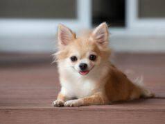 Curiosità sul Chihuahua