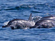 Un gruppo di delfini