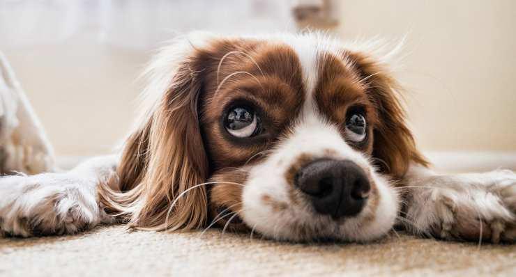 Il cane annoiato (Foto Pixabay)