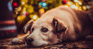 cane triste