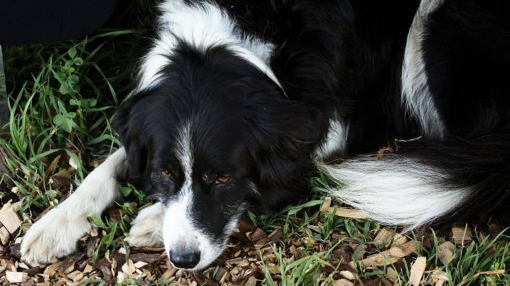 cane battito cardiaco