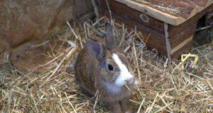 Come educare un coniglio nano (Foto Pixabay)