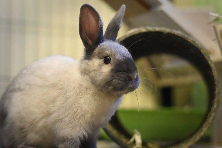 Un coniglio nano non ha bisogno di un addestramento infinito (Foto Pixabay)