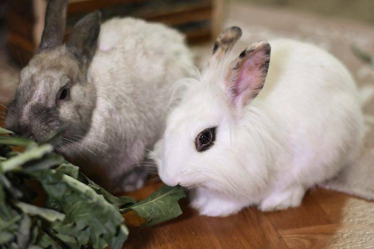Conigli nani da compagnia (Foto Pixabay)