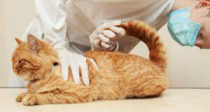 Emorroidi nel gatto