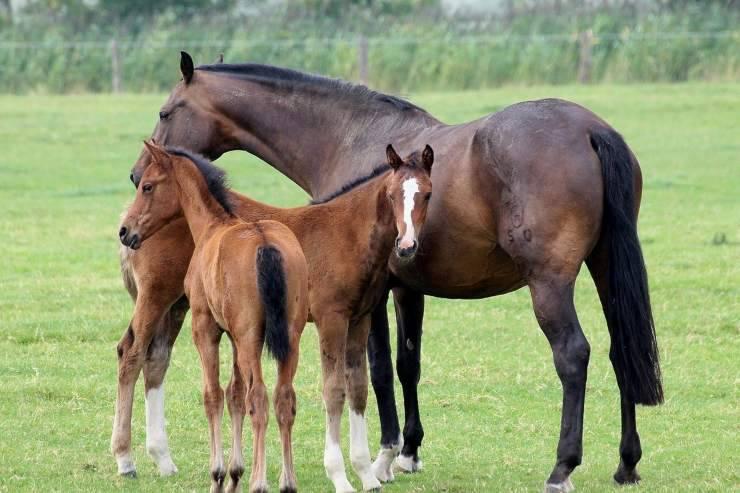 Cavalli in branco (foto Pixabay)