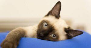 gangliosidosi nel gatto