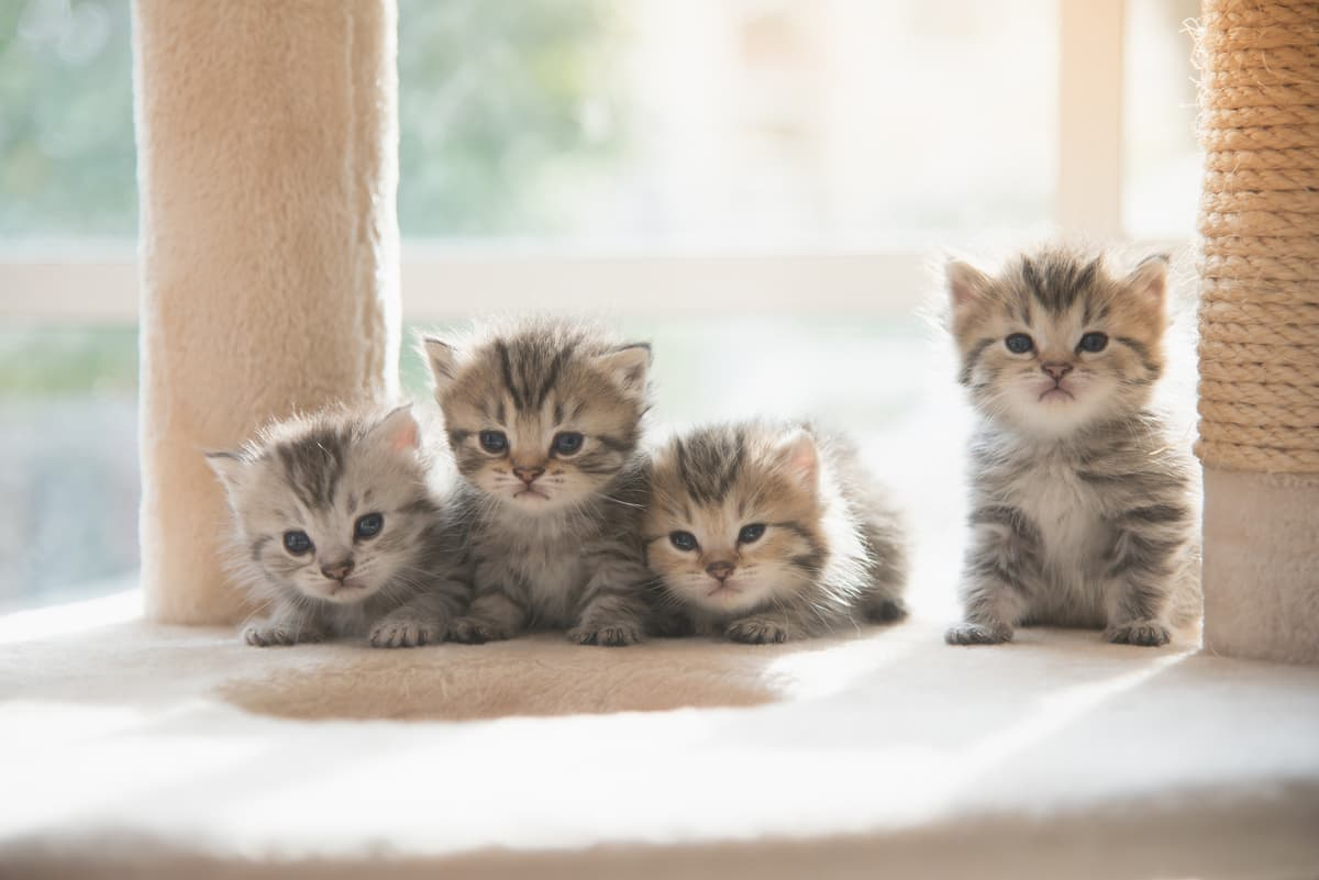 Come diventare allevatore di gatti (Foto Adobe Stock)