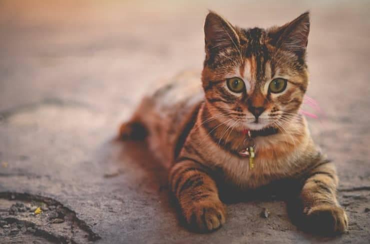 Il gatto può mangiare carboidrati? (Foto Pixabay)