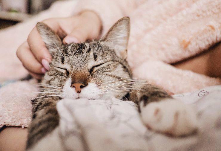 gatto dorme sul petto del padrone