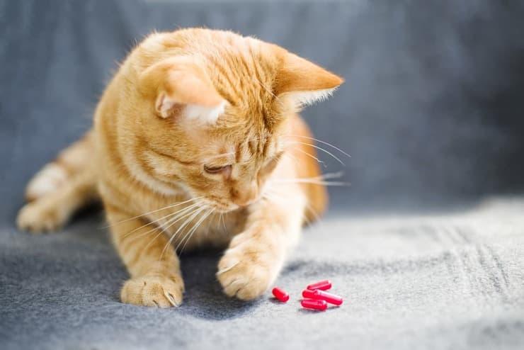 Tina, la gattina affetta da nanismo