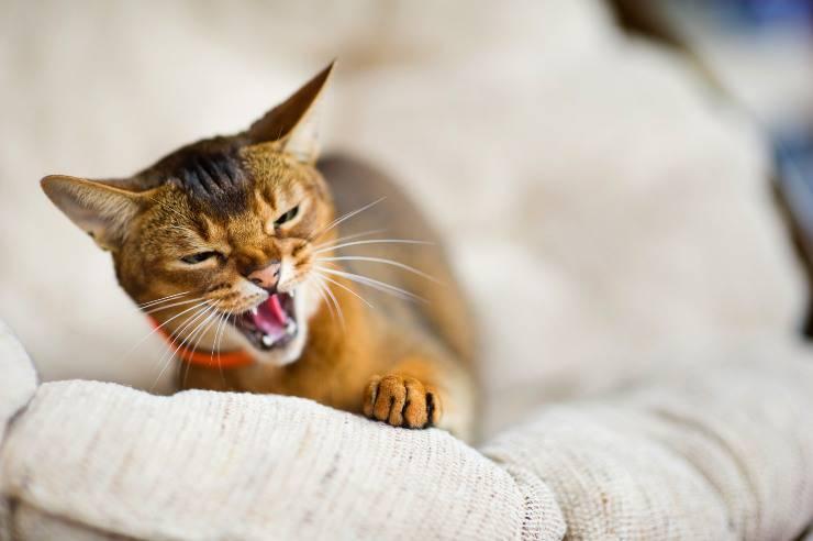 gatto sbuffa