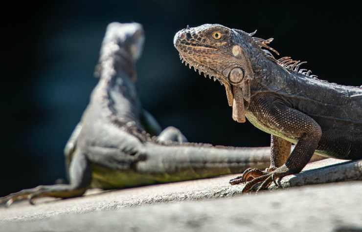 L'iguana curiosa (Foto Pixabay)