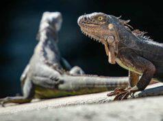 L'iguana in posa (Foto Pixabay)
