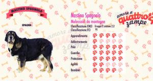 Mastino Spagnolo scheda razza