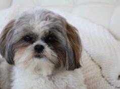 malattie del cane shih tzu
