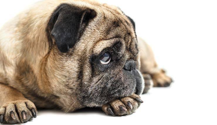 Neosporosi nel cane