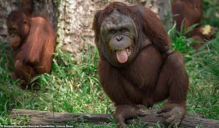 L' orango Kopral che ha perso entrambi gli arti