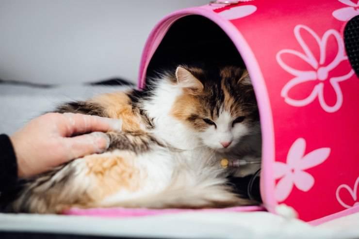 Tutto quello che c'è sapere per curare la febbre del gatto