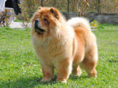 Razze di cani cinesi: il Chow Chow