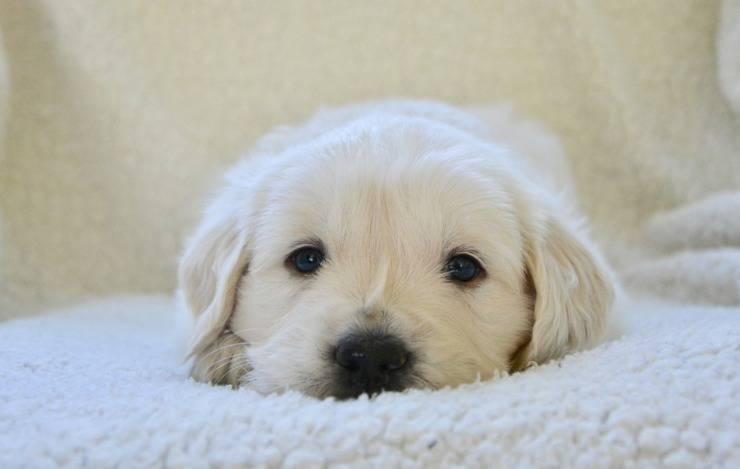 cucciolo cane labrador