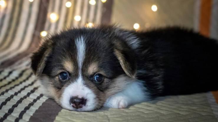 cucciolo cane parvovirosi parvovirosi virus
