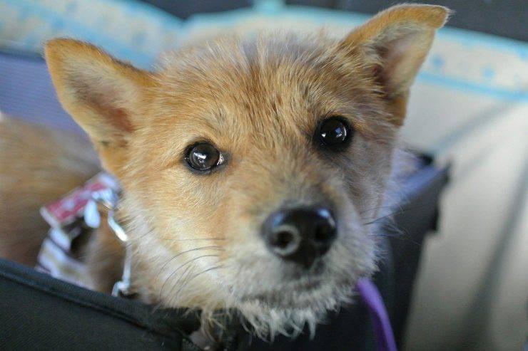 Adottare un cane senza microchip