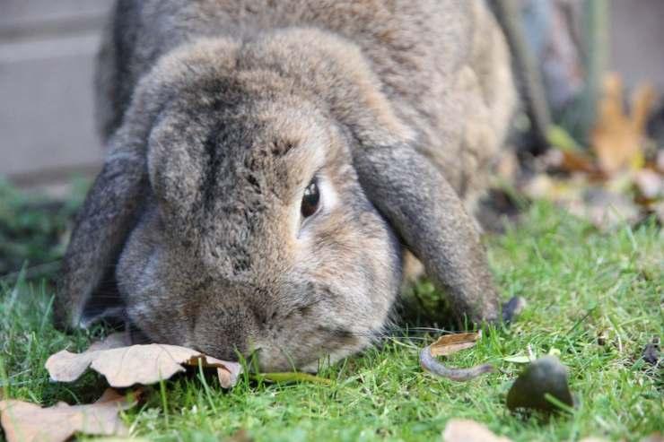 pancake coniglio ritrovato