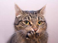 azze di gatto che miagolano poco o niente