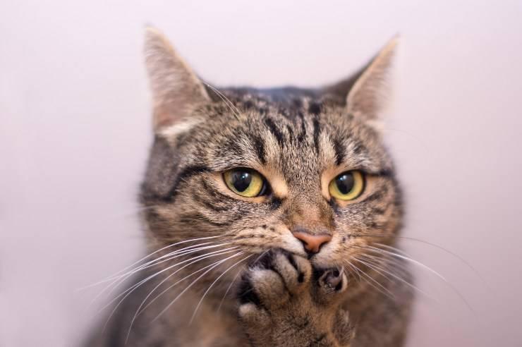 razze di gatto che miagolano poco o niente