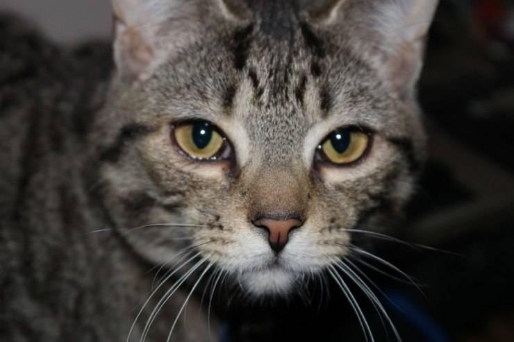 gatto soriano grigio tabby