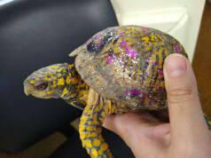 tartaruga guscio colorato