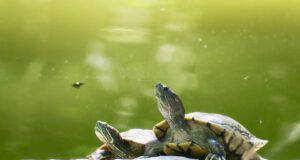tartaruga di acqua