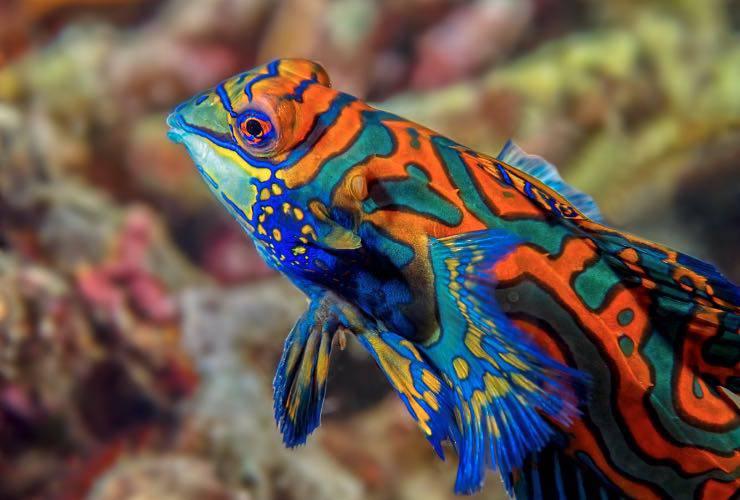 Il pesce mandarino