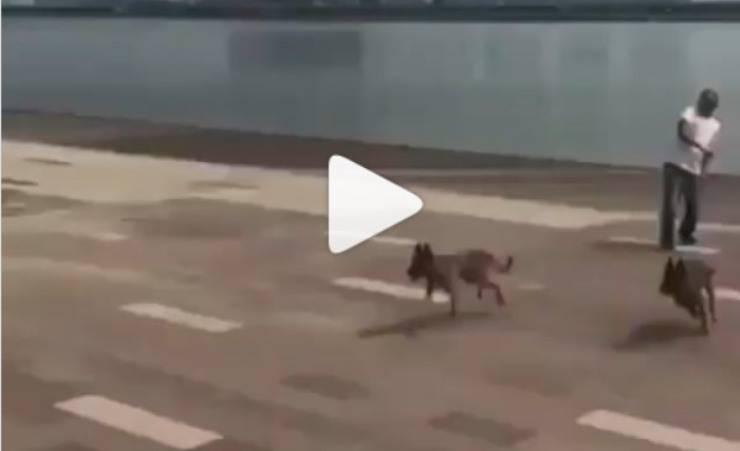 cani saltano siepe