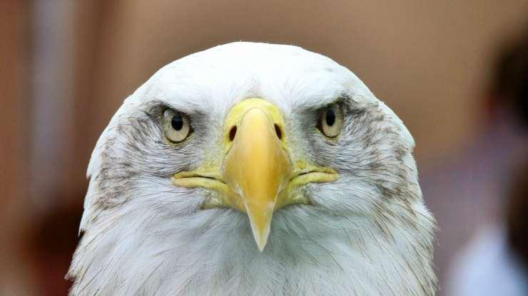 Aquila ravvicinata (Foto Pixabay)