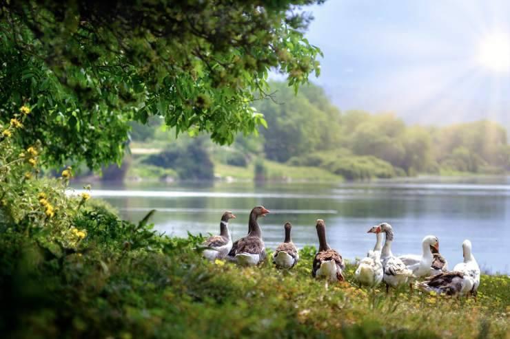 Oche vicino al lago (Foto Pixabay)