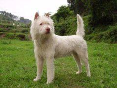 Il raro cane Xiasi Quan