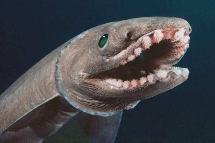 squalo dal collare