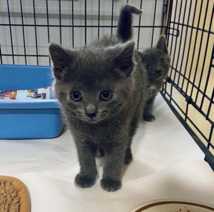 volontario adotta gattino rifugio