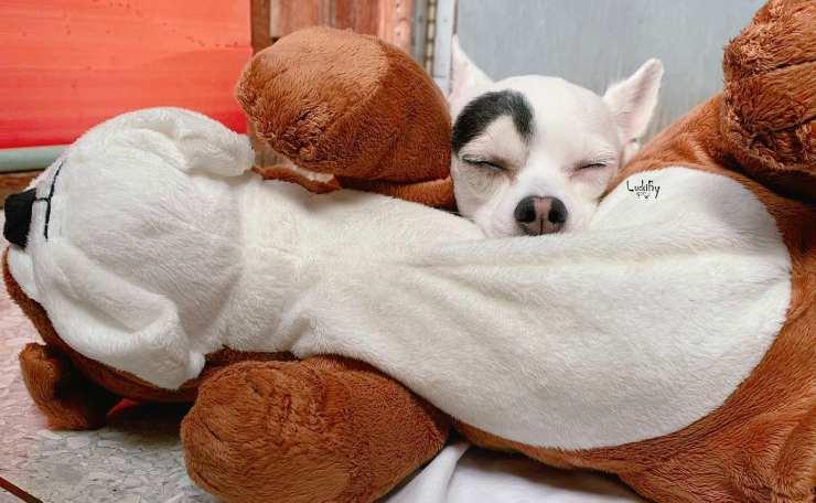 Cagnolino dorme con il pupazzo (Foto Facebook)