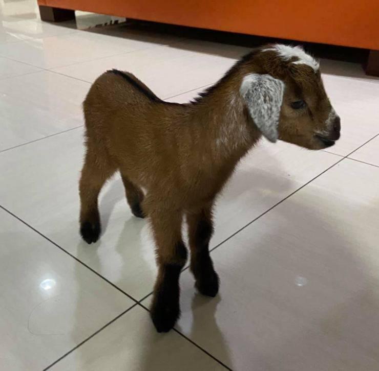 salva capra fossa